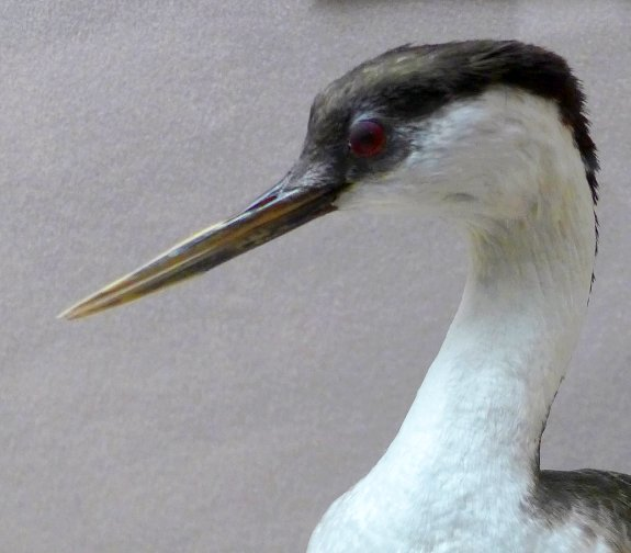 Western grebe's sharp bill, Carnegie Musuem specimen (photo by Kate St. John)