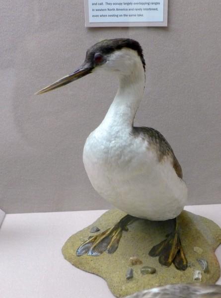 Western grebe specimen, Bird Hall at Carnegie Museum (photo by Kate St.John)