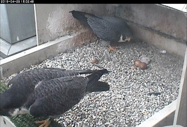 Terzo looks; 2nd chick is gone (photo from the National Aviary falconcam at Univ of Pittsburgh)