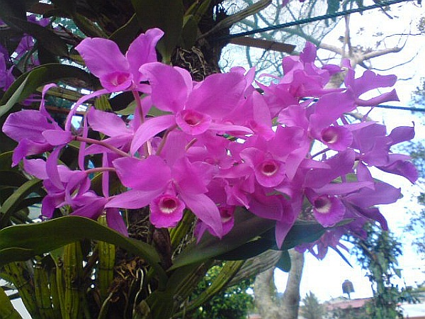 Guaria morada, orchid, the National Flower of Costa Rica (photo from Wikimedia Commons)