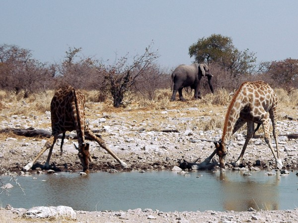 Giraffes drinking, Namibia, Etosha (photo by GIRAUD Patrick via Wikimedia Commons)
