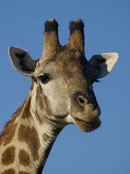 Giraffe in Namibia (photo from Wikimedia Commons)
