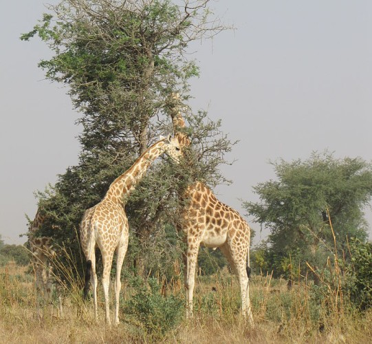 Giraffes eating among the leaves (photo from Wikimedia Commons)