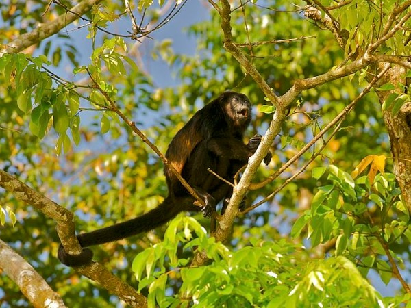 Mantled howler monkey, howling in Costa Rica (photo from Wikimedia Commons)