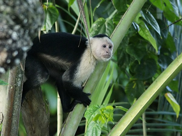 White-headed capuchin monkey, Costa Rica (photo from Wikimedia Commons)