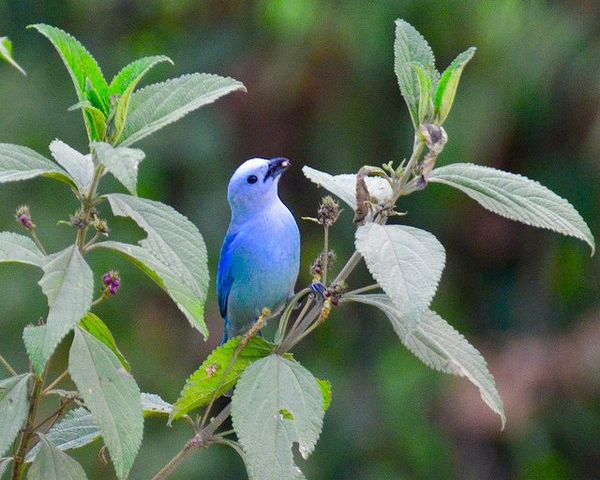 Blue gray tanager (photo by Jon Goodwill)