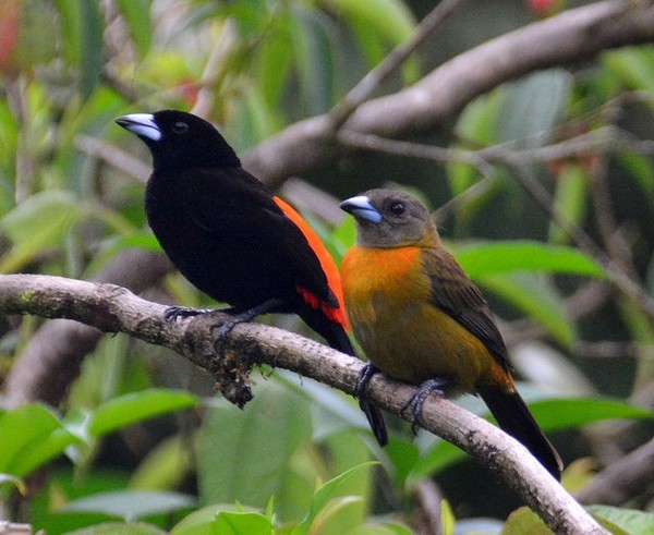 Cherrie's tanager, male and female (photo by Jon Goodwill)