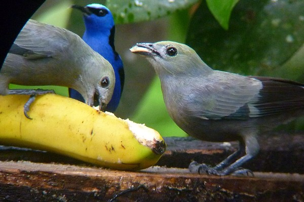 Palm tanagers with red-legged honeycreeper in the background (photo by Roger Melendez)