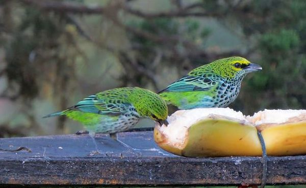 Speckled tanagers (photo by Bert Dudley)