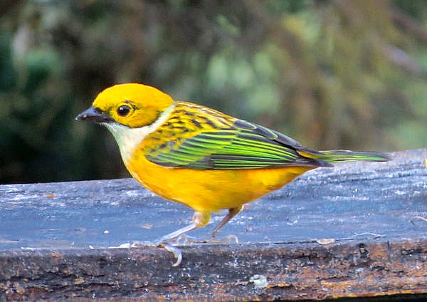 Silver-throated tanager (photo by Bert Dudley)