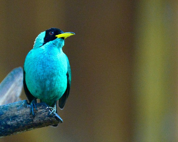 Green honeycreeper (photo by Jon Goodwill)