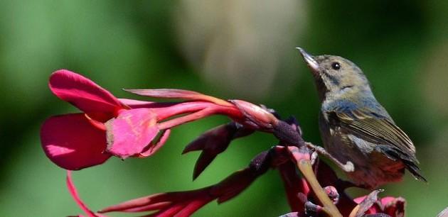 Slaty flowerpiercer (photo by Jon Goodwill)