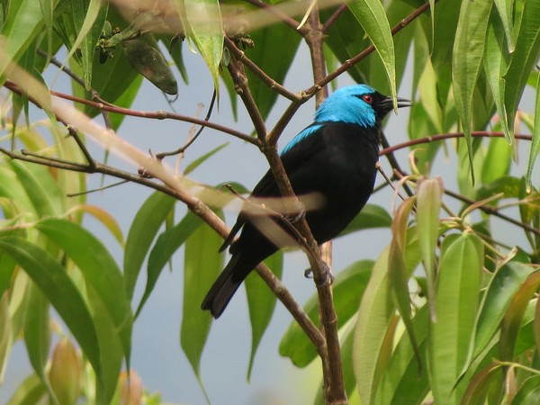 Scarlet-thighed dacnis (photo by Bert Dudley)