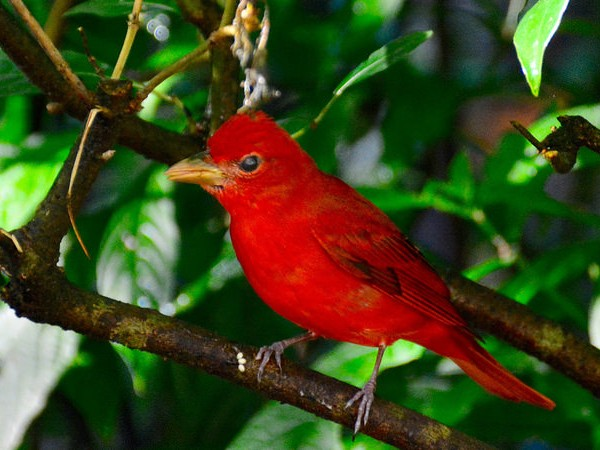 Summer tanager (photo by Jon Goodwill)