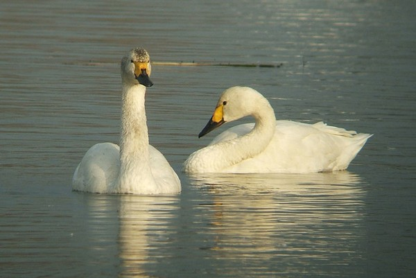 Bewick's swans (photo from Wikimedia Commons)