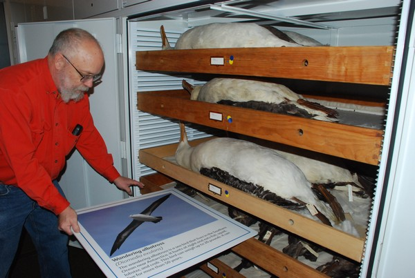 Collection Manager Steve Rogers shows the the Wandering Albatross at Carnegie Museum (photo by Donna Foyle)
