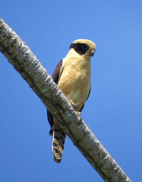 Laughing Falcon, Costa Rica (photo by Bert Dudley)