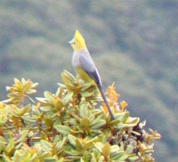 Long-tailed silky-flycatcher (photo from Wikimedia Commons)