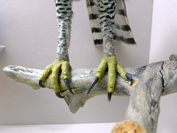 Ornate hawk-eagle legs, Bird Hall, Carnegie Museum (photo by Kate St. John)