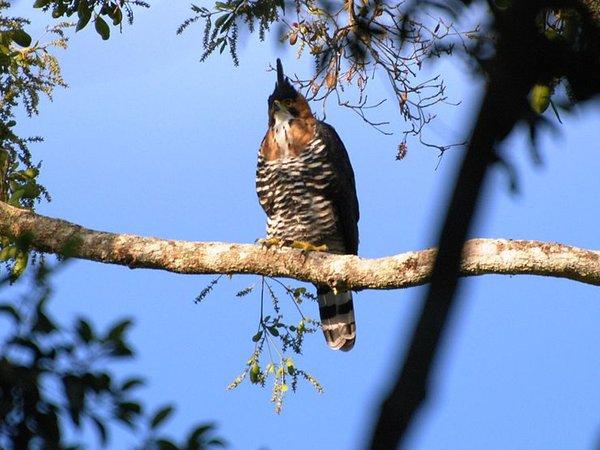 Ornate hawk-eagle (photo from Wikimedia Commons)