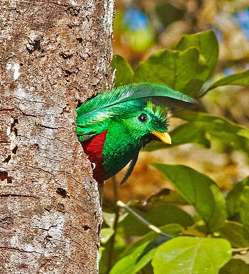 Resplendent quetzal leaving nest hole (photo by Joseph C Boone via Wikimedia Commons)