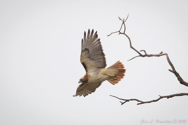 Red-tailed hawk (photo by Cris Hamilton)