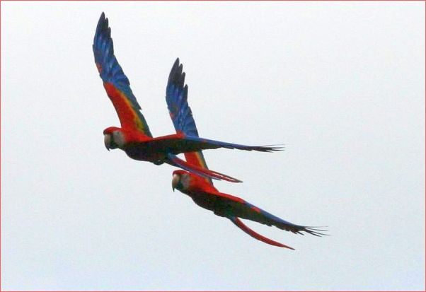 Scarlet macaws in flight, Costa Rica (photo from Wikimedia Commons)