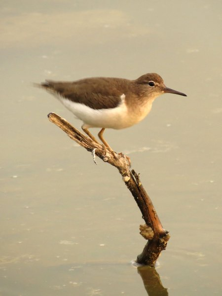Spotted sandpiper in February at the Yucatan (photo from Wikimedia Commons)