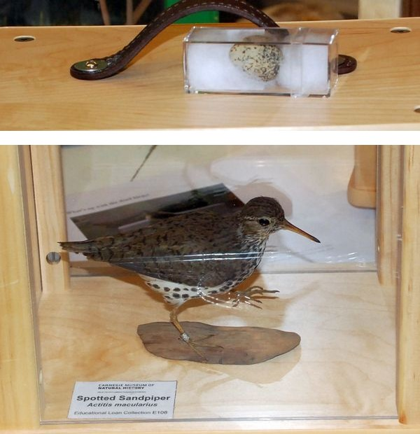 Spotted sandpiper and egg in Carnegie Museum's collection (photo by Donna Foyle)