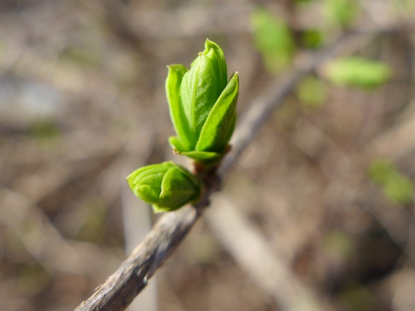 Amur honeysuckle buds opening, 14 Feb 2017 (photo by Kate St. John)