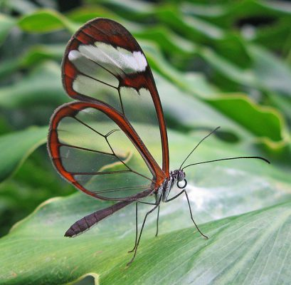 Glasswinged butterfly, Costa Rica (photo from Wikimedia Commons)