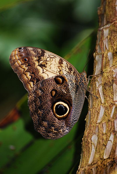 Owl butterfly (photo from Wikimedia Commons)