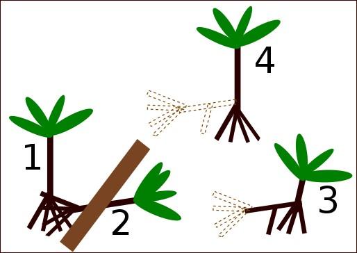 How the stilt roots of Socratea exhorriza allow it to right itself (Bodley, John; Foley C. Benson (March 1980) via Wikimedia Commons)