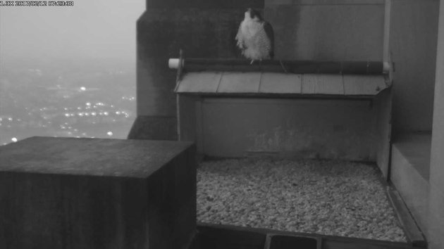 Peregrine perched at the Gulf Tower nest before dawn, 12 Feb 2017 (photo from the National Aviary falconcam at Gulf Tower)