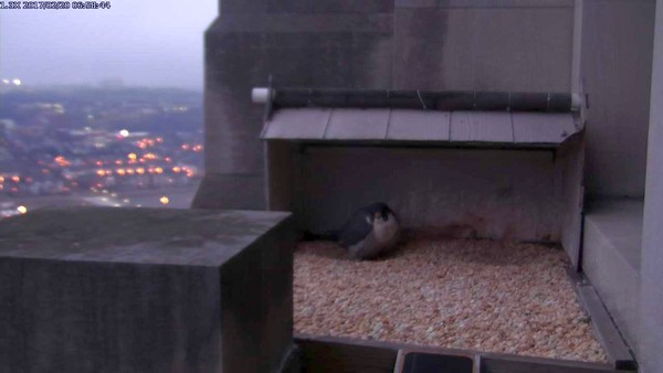 Dori at the left-hand scrape at the Gulf Tower, 6:58am, 20 Feb 2017 (photo from the National Aviary falconcam at Gulf Tower)