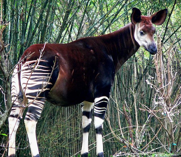 An okapi (photo from Wikimedia Commons)