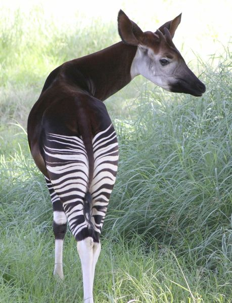 Male okapi showing off its stripes and horns (photo from Wikimedia Commons)