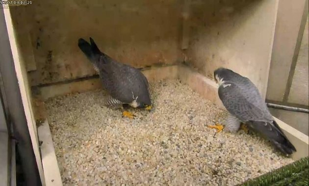 Hope and Terzo courting at the Cathedral of Learning, 7 Feb 2017 (photo from the National Aviary falconcam at Univ of Pittsburgh)