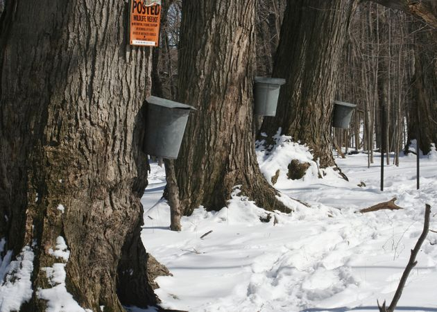 Maple trees with sugar pails (photo from Wikimedia Commons)