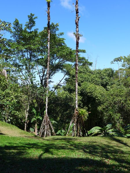 Walking palm trees, Wilson Botanical Garden, Costa Rica, 2 Feb 2017 (photo by Kate St. John)