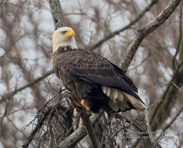 Bald eagle near the nest, 25 Mar 2017 (photo by Dana Nesiti, Eagles of Hays PA on Facebook)