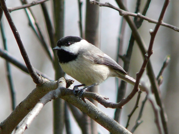 Carolina chickadee in North carolina (photo from Wikimedia Commons)