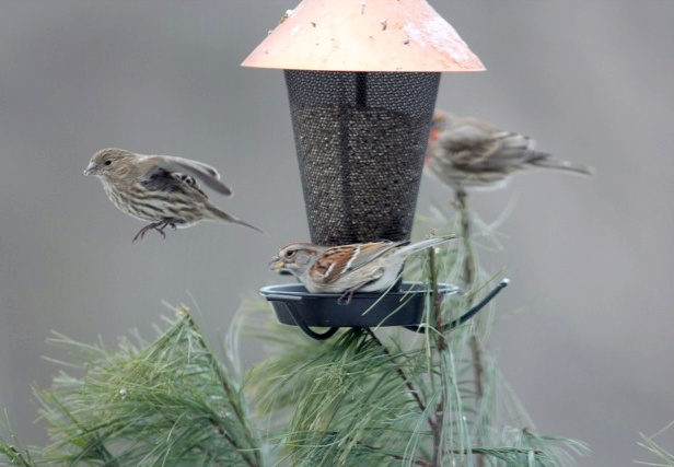 What bird is that? Small brown birds at the feeder (photo by Marcy Cunkelman)