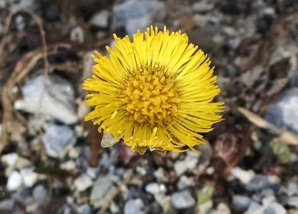 Coltsfoot blooming in Schenley Park, 8 Mar 2017 (photo by Kate St. John)