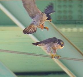 Closeup of peregrines mating at the Tarentum Bridge (photo by Steve Gosser)
