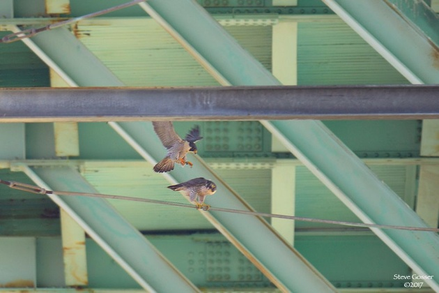 Peregrine falcons mating at Tarentum Bridge, 21 Mar 2017 (photo by Steve Gosser)