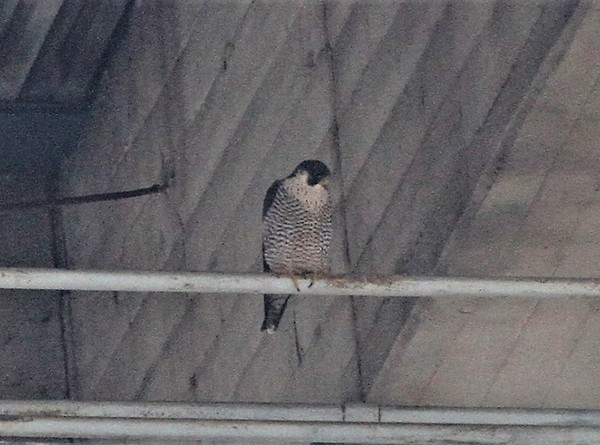 Peregrine at Westinghouse Bridge, 21 Mar 2017 (photo by Doug Cunzolo)