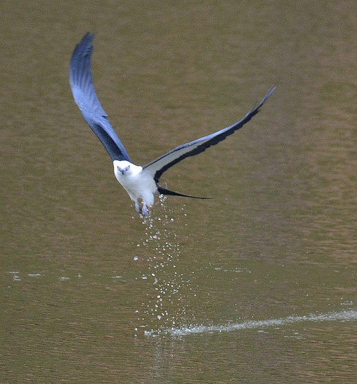 Swallow-tailed kite lifting off from its bath (photo by Jon Goodwill)