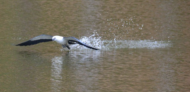 Swallow-tailed kite bathing (photo by Jon Goodwill)