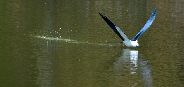 Swallow-tailed kite, bathing (photo by Jon Goodwill)